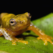 Javan gliding frog (Rhacophorus margaritifer); metamorphosing froglet,  West Java, Indonesia