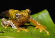 Javan gliding frog (Rhacophorus margaritifer); metamorphosing froglet,  West Java, Indonesia