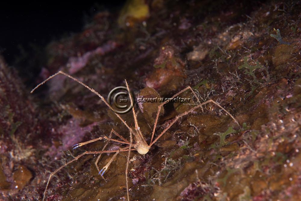 Arrow Crab, Stenorhynchus seticornis (Herbst, 1788), and Sponge Brittle Star, Ophiothrix suensoni, Lütken, 1856, Grand Cayman