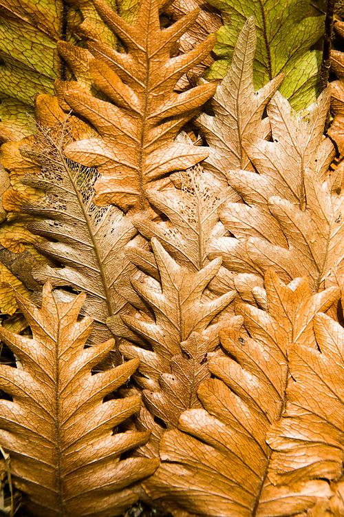 Fern Detail, Ravensbourne National Park.