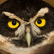 Spectacled Owl (Pulsatrix perspicillata saturata), Belize Zoo, Belize, Central America