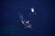 Humpback Whales, Hawaii<br />