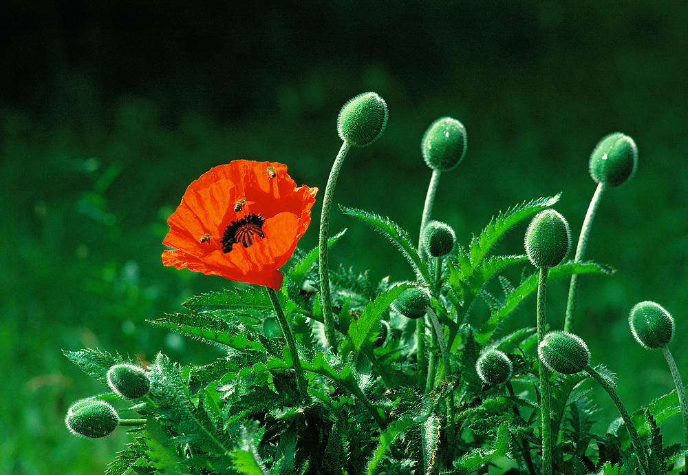 Bees buzz around a bright red poppy in Zermatt, Switzerland. ©Ric Ergenbright