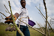 Farm worker Thomas Kavi picks dry jatropha fruits from a tree at the farm where he works in the town of Lolito, roughly 80km east of Ghana's capital Accra, on Thursday Dec. 12, 2006. Jatropha - which grows naturally in Ghana and other parts of Africa - can be used to make biodiesel.<br />