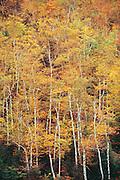 Aspen trees in autumn.