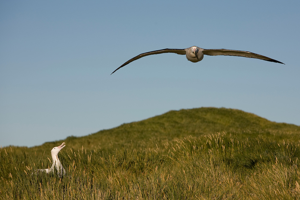 Antarctica, South Georgia Island (UK), Wandering Albatross (Diomedea exulans) spreading wings while flying above nesting site on Prion Island