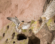 Peregrine falcon brings her feet forward, about to land on a ledge on a cliff, © 2015 David A. Ponton [Prints to 8x10, 16x20, 24x30, or 40x50 in. with no cropping]