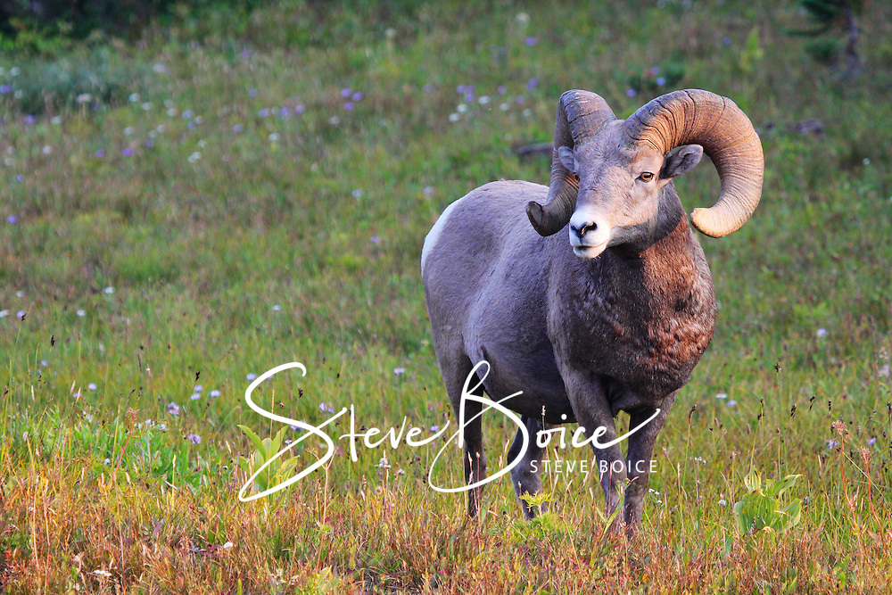 Bighorn sheep ram in green meadow Glacier National Park, Montana