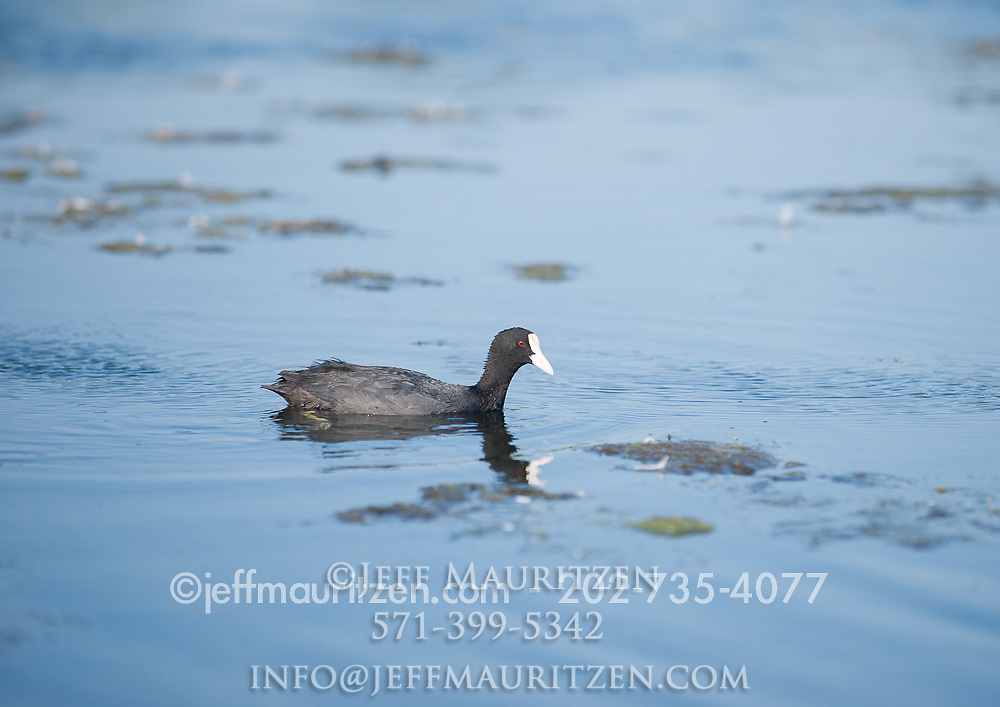 A coot in the Serpetine in Hyde Park in London, England