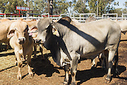 Mix of beef cattle including Brahman bulls  in stock yards  awaiting livestock sales at Liveweight Stock Complex, Moura, Queensland, Australia <br /> <br /> Editions:- Open Edition Print / Stock Image