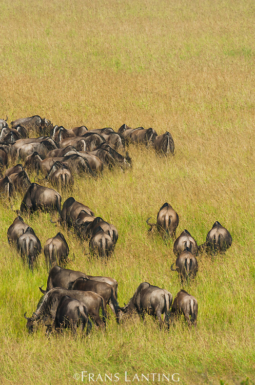 Wildebeest herd grazing during annual migration, Connochaetes taurinus, Masai Mara National Reserve, Kenya