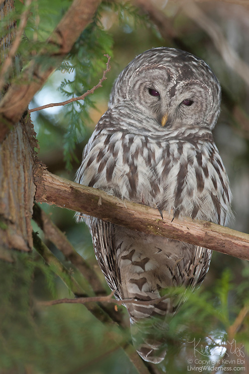 A barred owl (Strix varia) rests in a tree in the Washington Park Arboretum in Seattle, Washington. Barred owls are found in mixed woods where they, like all owls, hunt by watching for prey from perches.