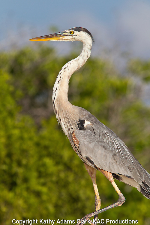 Great blue heron, standing on the dunes of Bachas Beach, Santa Cruz Island, Galapagos, Ecuador.