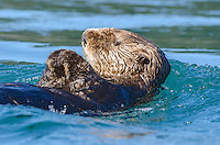Sea Otter in the Inian Islands in Southeast Alaska.