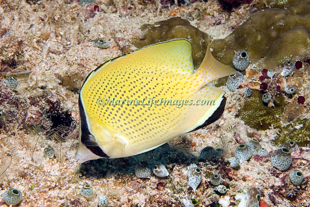 Speckled Butterflyfish inhabit reefs. Picture taken in Fiji.