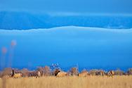 Elk Herd, rutting season, Grand Teton National Park