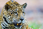 Canaa dos Carajas_PA, Brasil.<br /> <br /> Floresta Nacional de Carajas em Canaa dos Carajas, Para. Na foto Onca-Pintada (Panthera onca).<br /> <br /> The Carajas National Forest, Para. In this photo a jaguar (Panthera onca).<br /> <br /> Foto: JOAO MARCOS ROSA / NITRO
