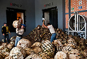 Chopping and carrying agave plants used for Tequila production into stone oven to bake for 48 hours, Tequlia, Mexico