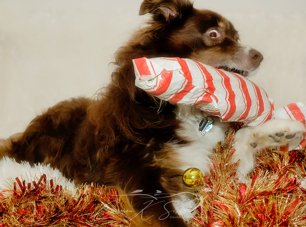Cowboy, a six-year-old, red tri Australian Shepherd, plays with one of his Christmas presents, Dec. 26, 2014, in Coden, Alabama. (Photo by Carmen K. Sisson/Cloudybright)