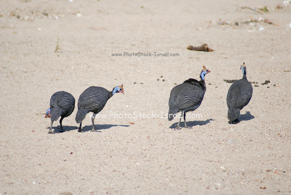 A flock of Helmeted Guineafowl (Numida meleagris) Photographed in Tanzania