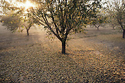 Sunrise in an almond orchard in Kern County, California. Almonds lay on the ground after being shook from the tree by the machine harvester.  They will then be swept up into boxes and loaded on a flatbed trailer and delivered to the production facility for drying and packaging. USA.