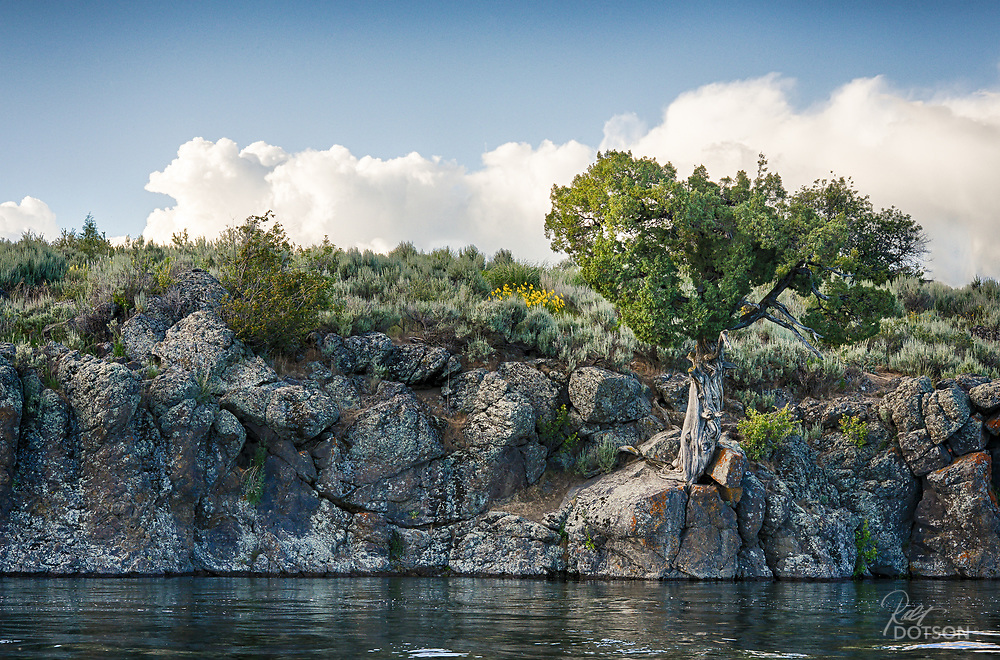 This old juniper sits anchored to the volcanic bluffs of the Henry's Fork right at the indistinguishable point where the river meets the Ashton Reservoir.