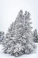 Snow covered pines near Fairbanks, Alaska.
