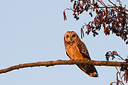 Short-eared owl perched in alder tree at sunset. Nr. Woking, Surrey, UK.