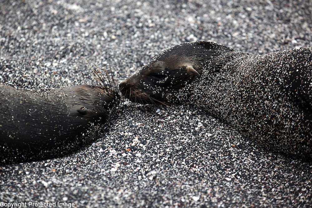 Two sea lions share a nose to nose moment on Fernandina Island in the Galapagos.