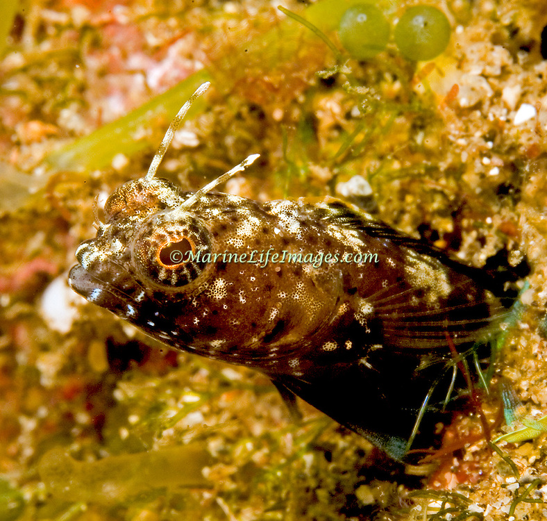 Sailfin Blenny inhabit shallow clear water areas of rock rubble and sand, perch in holes with head and verntral fins exposed Tropical West Atlantic; picture taken St. Vincent.