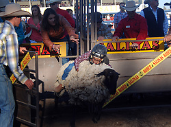 "Crystal Vazquez bursts out of the gate in the ""Mutton Biustin"" contest at the 102nd California Rodeo Salinas, which opened July 19 for a four-day run."