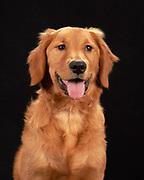 Golden Retriever portrait