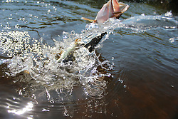 Streamer fly fishing for musky in Hayward, Wisconsin. Pikefighting, splashing and jumping to get free.