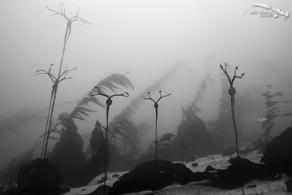 Skeletal, leafless kelp stalks in the Channel Islands, California. Sea lions have been known to chew leaves off of kelp, but it's unclear how these particular stalks lost their foliage.