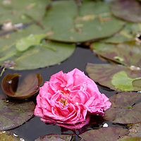 9 May, 2004:  A flower in a pond on the grounds of the Via Rufolo in the town of Ravello, Italy on May 9, 2004.