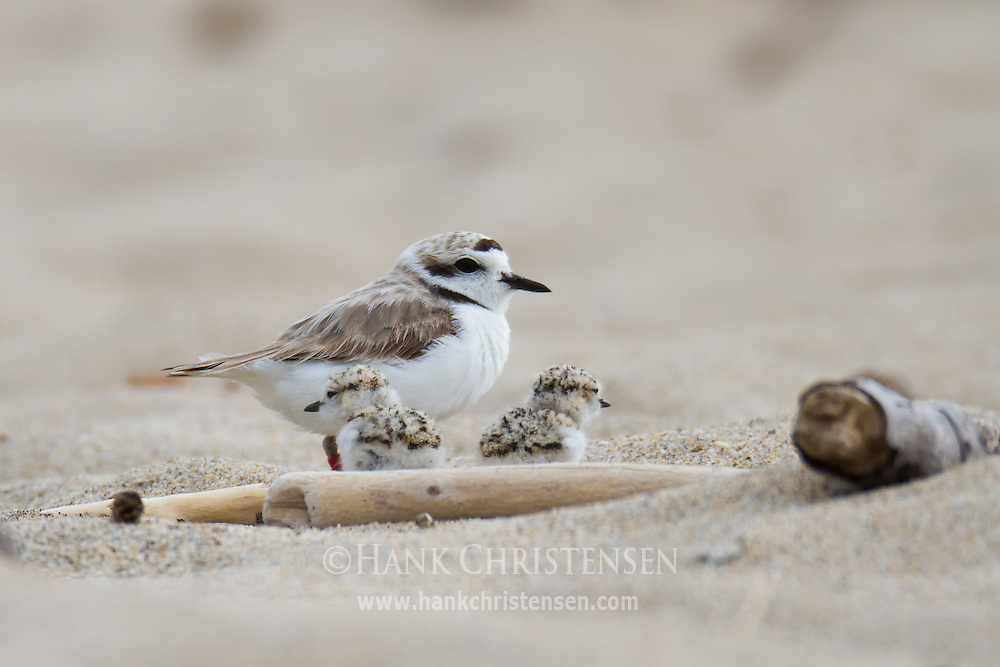 A snowy plover stands along the beach with two newly hatched chicks