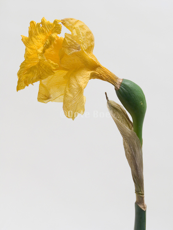Close up of dying daffodil