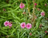 Pink Cornflower. Image taken with a Leica CL camera and 60 mm f/2.8 lens