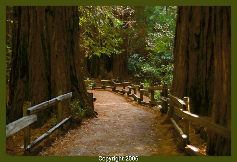 Through the trees In Muir Woods