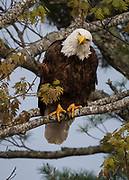Bald Eagle perched in tree above Somes Harbor in the evening light