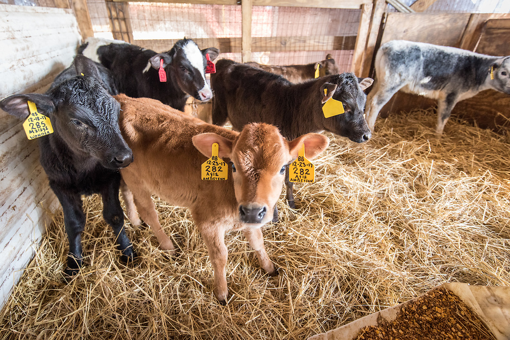 A group of young calves of assorted coat colors stand together in pen,  Taneytown, Maryland