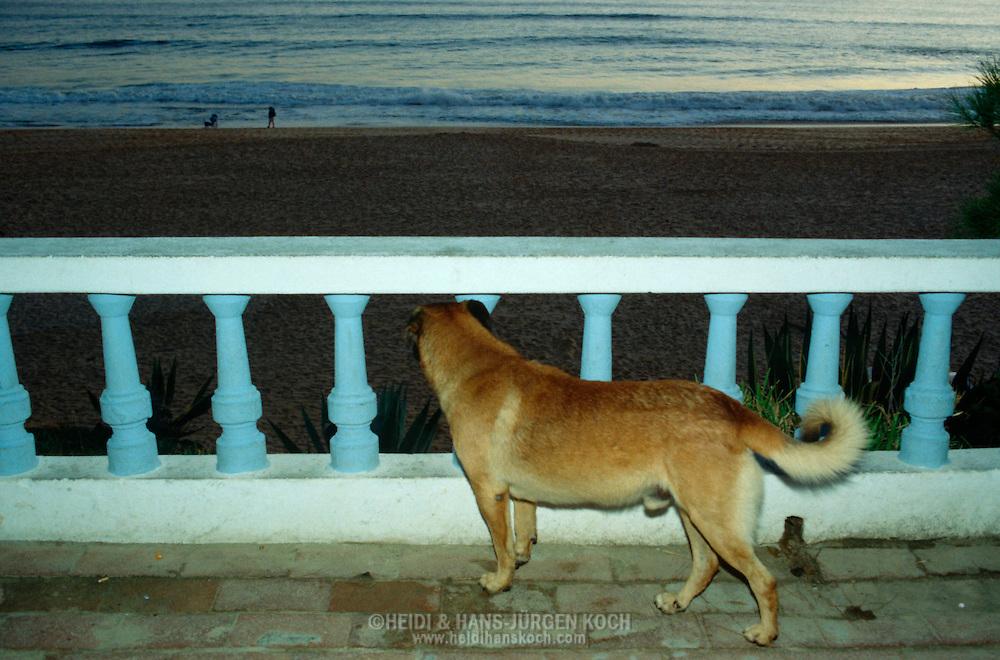 PRT, Portugal: Streunender Hund, Haushund (Canis lupus familiaris), ein altes Weibchen überblickt den Strand von der Strandpromenade am Abend, Armacao de Pera, Algarve | PRT, Portugal: Stray dog, domestic dog (Canis lupus familiaris), old female in the evening overlooking the beach from the beach promenade, Armacao de Pera, Algarve |