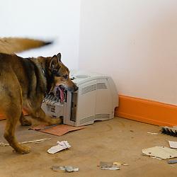 Entra&icirc;nement des &eacute;quipes cynophiles de la Gendarmerie Nationale. Chiens de recherche de produits stup&eacute;fiants, chiens de recherche de billets, et chiens d'attaque.<br /> Mai 2015 / FRANCE<br /> Voir le reportage complet (58 photos)<br /> http://sandrachenugodefroy.photoshelter.com/gallery/2015-05-Entrainement-des-equipes-cynophiles-Gendarmerie-Complet/G0000WFwrMifeiQE/C0000yuz5WpdBLSQ