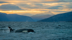 "EXCLUSIVE: You ORCA look behind you, this incredible photo shows a diver seemingly just yards from a feeding killer whale. Norwegian teacher Svein Aasjord, 44, his wife, and three boys, live in a fjord called Kaldfjord, in northern Norway close to the city of Tromsø - 217 miles north of the Arctic Circle. As well as living in one of the stunning coastal inlets Norway is famous for, the Aasjord family also live in one which is a popular hunting channel for whales feeding on herring. Each winter millions and millions of herring feed along the Norwegian coast in rich cold-water currents. Heading north to meet them is one the largest gatherings of orca and humpback whales on earth ready to feast on the bounty. In open water the whales stand little chance against the fast-moving shoals of herring, but by herding the tiny fish into fjords the whales create hundreds of 'bait balls' trapping the fish at the surface before going in for the kill. Sometimes the Aasjord family's local Kaldfjord can be literally full of herring and large numbers of orca and humpbacks hunting them. The action has been so close to the house that Svein has been able to take photographs from inside his own property. These stunning photographs are just some Svein has been able to take over the years, including some breath-taking shots of his friends SWIMMING with the hunting orcas. Svein said: ""All the people that have seen that picture tell me 'he's going to die in the next moment'. ""I shouted to my friend 'look over here', because I wanted him to be looking at me when one of the big males was behind him. The whale of course was not up for the diver at all, he was just up for air. ""The diver is a friend of mine, he and his girlfriend are experienced divers, they are not professional divers but they dive all the time. ""We shut off the engine, as I am very strict when it comes to not disturbing the whales because they are feeding and I don't want to interfere with their live"