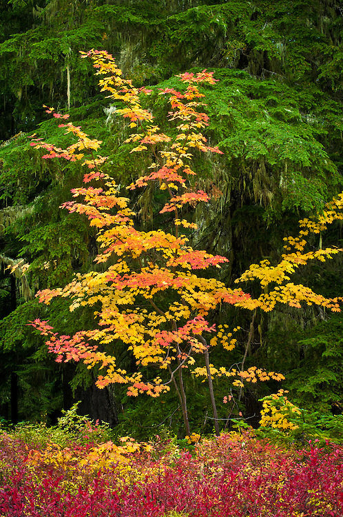 Vine maple and huckleberry with fall color; Gifford Pinchot National Forest, Cascade Mountains, Washington.