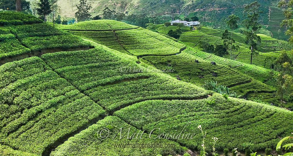 The rolling hills of tea create a luminous landscape.<br /> (Photo by Matt Considine - Images of Asia Collection)