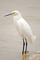 A Snowy Egret stands on the side of the big pond at Bear River Bird Refuge in northern Utah.