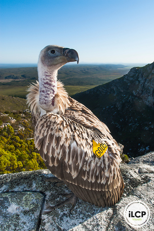 Wing-tagged Cape Vulture, De Hoop Nature Reserve, Western Cape, South Africa