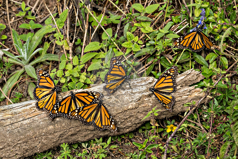 Monarch Butterflies sun on a log during the annual mass migration in the forests of the El Capulin Monarch Butterfly Biosphere Reserve in Macheros, Mexico. Each year millions of Monarch butterflies mass migrate from the U.S. and Canada to the Oyamel fir forests in central Mexico.