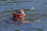 An adult northern river otter wrestles a large cutthroat trout in the Yellowstone River. Fish are the primary food source for otters who also prey on crayfish, turtles, frogs, birds and small mammals.